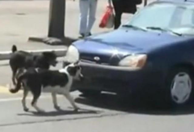 VIDEO: Claxonarea cainilor se face cu un pret!