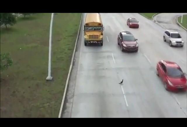 VIDEO: Cum trece o rata strada