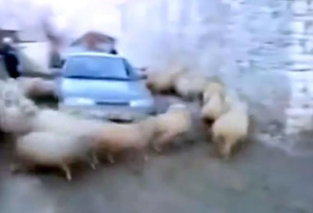 VIDEO: O masina a devenit ostatica unei multimi de oi