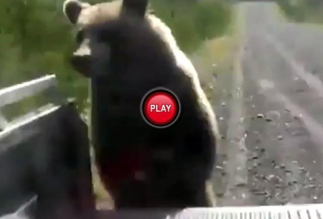 VIDEO: Ursul autostopist
