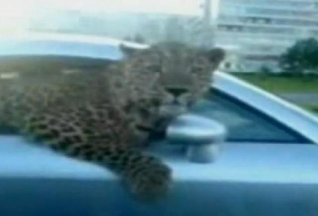 VIDEO: Stapanul unui leopard si-a scos felina la plimbare intr-un Audi TT