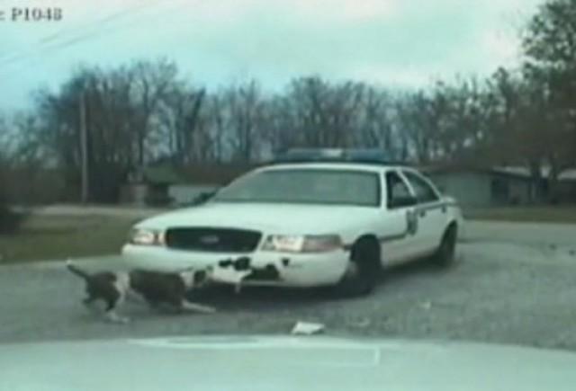VIDEO: Un caine vandalizeaza o masina de politie