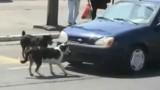 VIDEO: Claxonarea cainilor se face cu un pret!26162