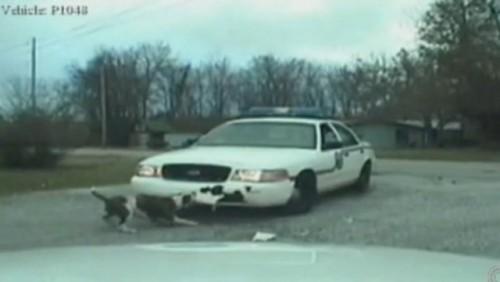 VIDEO: Un caine vandalizeaza o masina de politie22808