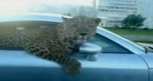 VIDEO: Stapanul unui leopard si-a scos felina la plimbare intr-un Audi TT16778